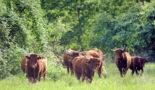Ganzjahresweide mit Rindern im Südharz