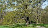 """Wiederherstellung des Landschaftsparks Triestewitz (Projekt """"Heldbock"""" )"""